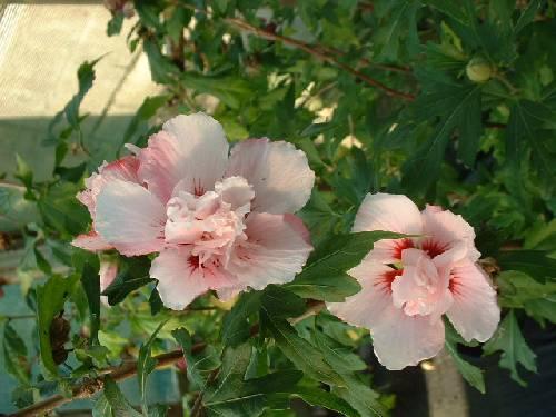 hibiscus perryhill nurseries. Black Bedroom Furniture Sets. Home Design Ideas