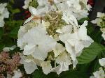 Hydrangea LanarthWhite