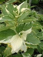 Hydrangea mac. Quadricolor