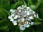 Hydrangea macrophylla Libelle