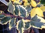 Ilex aquifolium Madame Briot