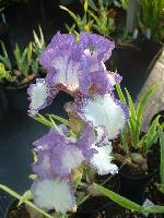 Iris Dancers Veil