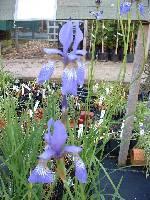 Iris sibirica Perrys Blue