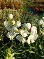 Lathyrus latifolius Weisse Perle