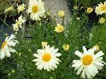 Leucanthemum sup. Sonnenschein