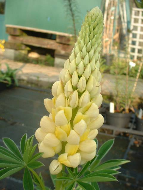 Buy lupinus chamossionis chandelier gallery series and other lupinus chandelier aloadofball Gallery