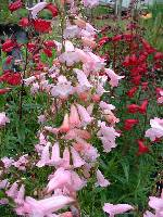 Penstemon Appleblossom