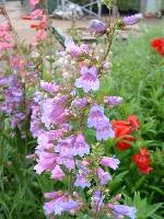 Penstemon Catherine de La Mare