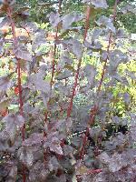 Physocarpus opulifolius Diablo