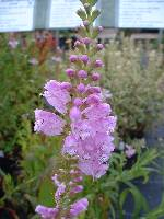 Physostegia vir. ssp. Bouquet Rose
