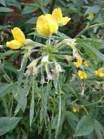 Piptanthus laburnifolius