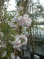 Prunus Amanogowa
