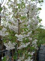 Prunus Shogetsu