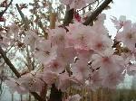 Prunus Spire