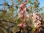Prunus padus Watereri