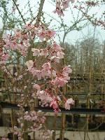 Prunus pendula Pendula Rubra
