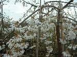 Prunus x yedoensis Ivensii