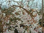 Prunus yedoensis Shidare Yoshino