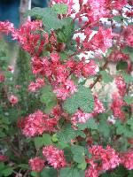 Ribes sanquineum Pulborough Scarlet