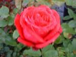 Rosa Alecs Red