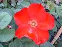 Rosa Altissim