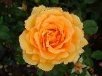 Rosa Amber Queen