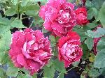 Rosa Baron Girod D Lain