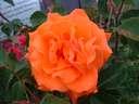 Rosa Bright Fire