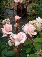 Rosa Cecile Brunner shrub