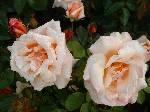 Rosa Chanelle