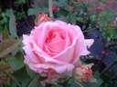Rosa Columbian