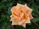 Rosa Dawn Chorus