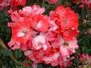 Rosa Dortmund