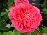 Rosa Duc de Guiche