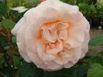 Rosa Elizabeth of Glamis