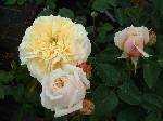 Rosa English Garden