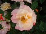 Rosa Florence Nightingale