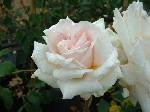 Rosa Lady Sylvia