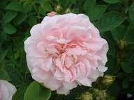 Rosa Maidens Blush