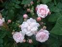 Rosa Noisette Carnee
