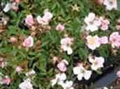 Rosa Nozom