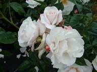Rosa Pearl Drift