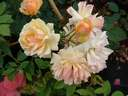 Rosa Phyllis Bide