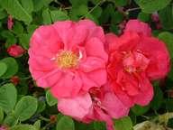Rosa Portlandica