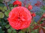 Rosa Rosemary Rose