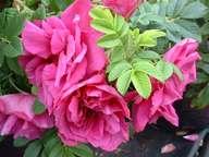 Rosa Roserie d L Hay