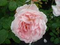 Rosa Sceptred Isle