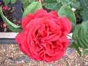Rosa Souvenir de Dr Jamain