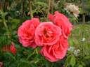 Rosa Starlight Express