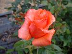 Rosa Sunset Boulevard